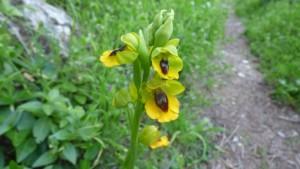 flora Orquídea Costa del Sol