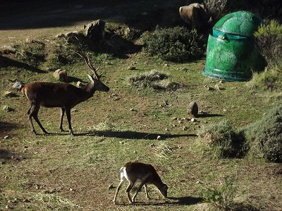 hide muflona ciervo