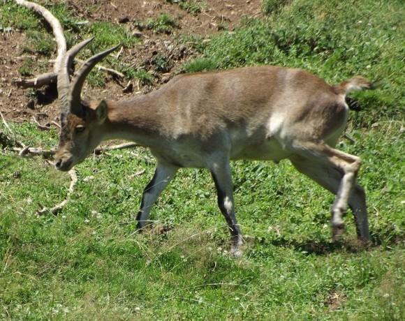 cabra-montes-2