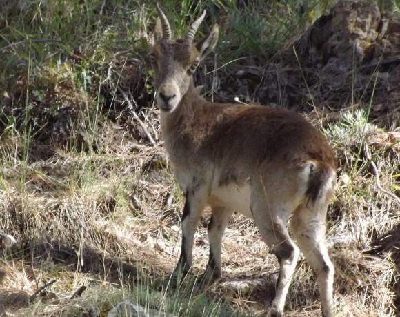 cabra-montes-4