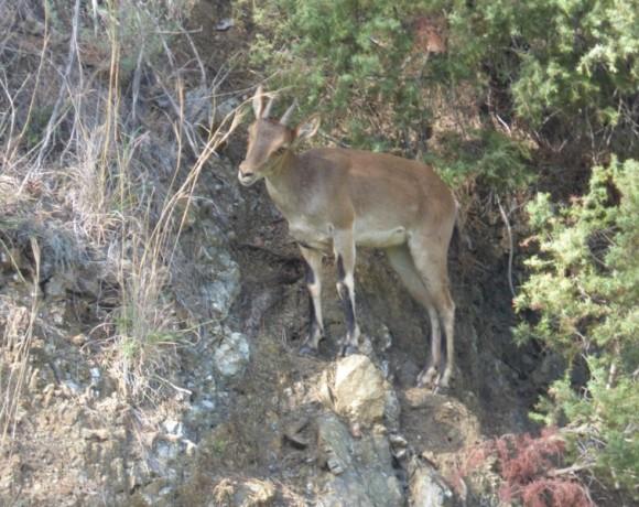 cabra-montes-5