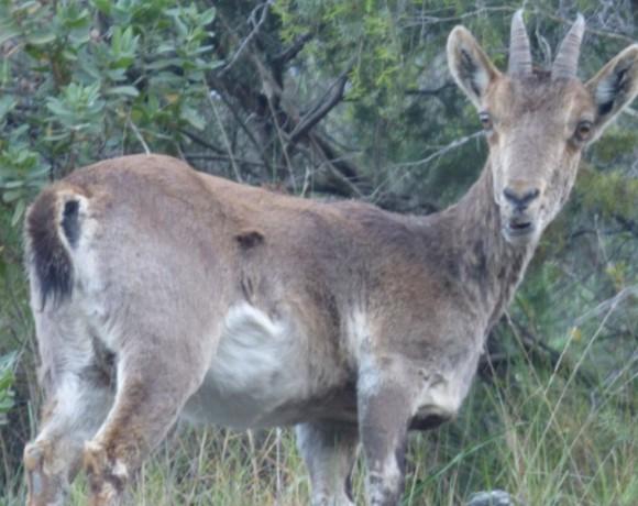 cabra-montes-6